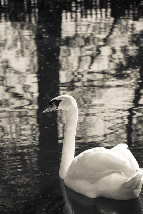 Natation de cygne dans un lac avec beaucoup de réflexions photographie stock