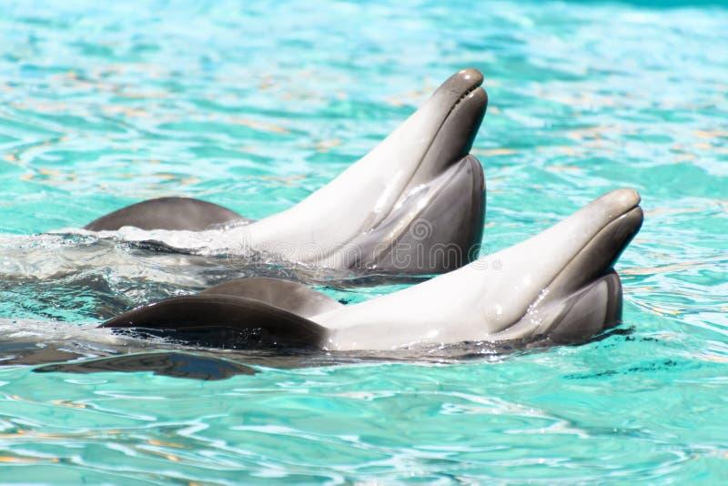 Natation de dauphin de deux amants dans l'eau bleue pure images stock