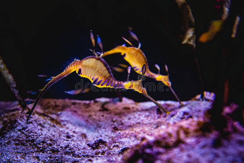 Natation de deux hippocampes dans un récif coralien et un aliment de recherche sur le fond de la mer images stock