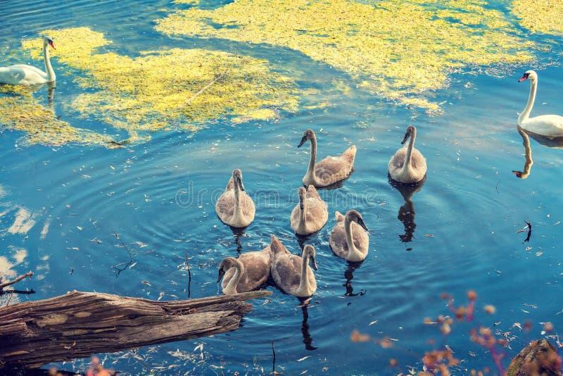 Natation de famille de cygne dans l'étang images libres de droits