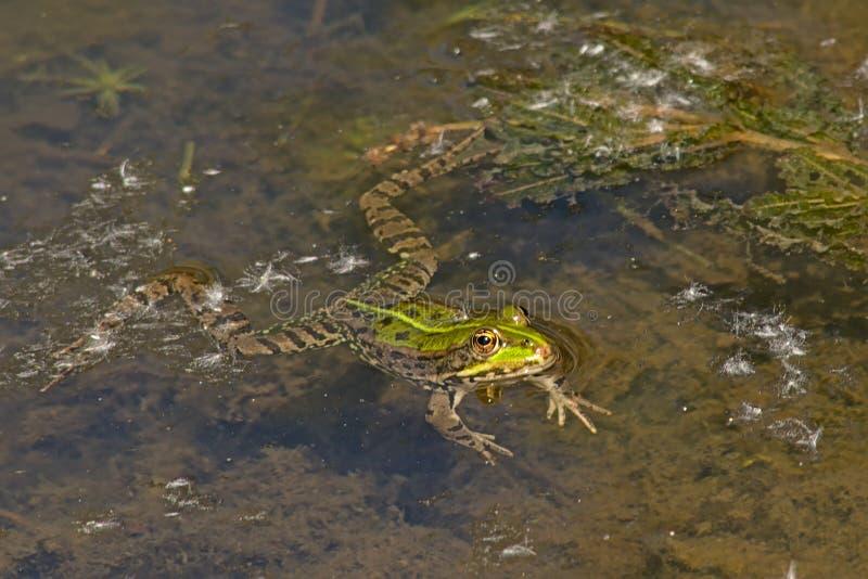 Natation de grenouille dans l'Anura d'étang image libre de droits