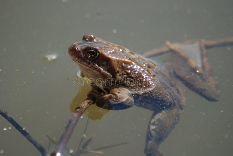 Natation de grenouille dans l'eau photos stock