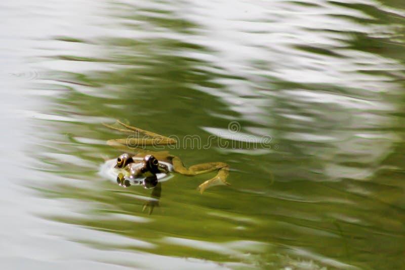 Natation de grenouille sur la surface de l'étang images libres de droits