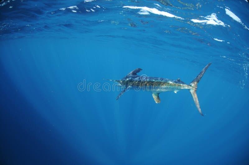 Natation de marlin blanc dans l'océan photographie stock
