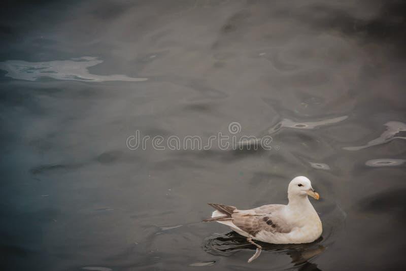 Natation de mouette en mer un jour obscurci d'été, un oiseau images stock