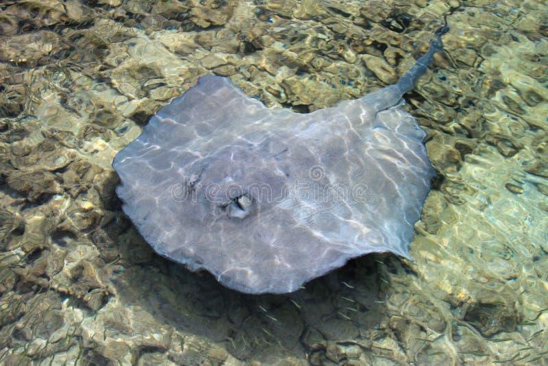 Natation de pastenague en eau peu profonde à la côte du tabac Caye, Belize image libre de droits