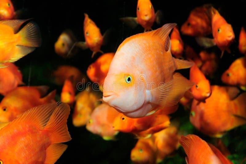 natation de perroquet de cichlid de sang d'aquariums photographie stock libre de droits