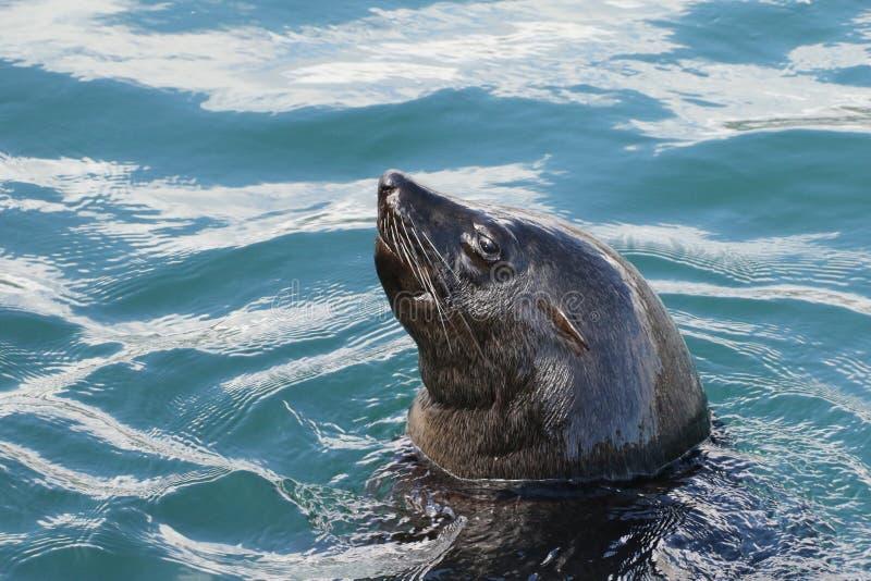 Natation de phoque de fourrure de cap dans la baie de Hout images libres de droits