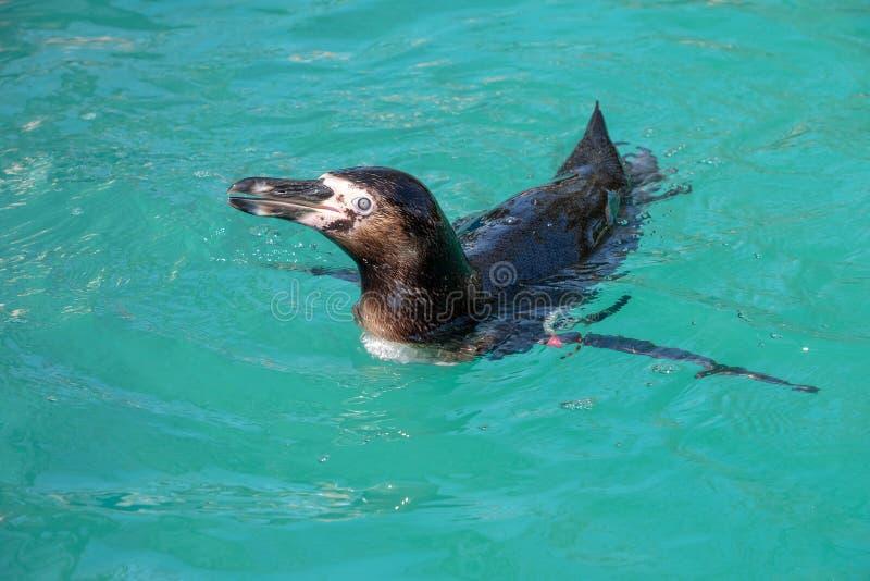 Natation de pingouin de Humboldt photographie stock
