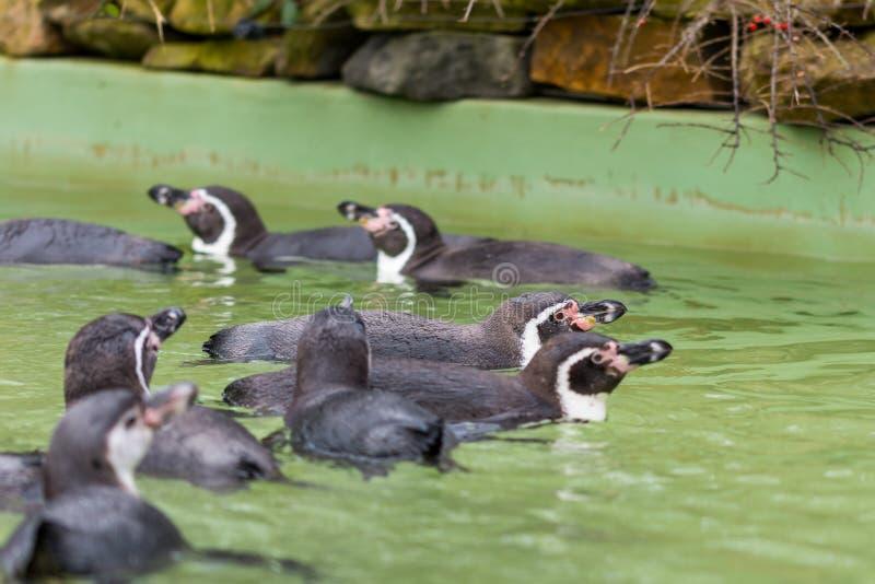 Natation de pingouin de Humboldt dans l'eau, portrait de pingouin image libre de droits