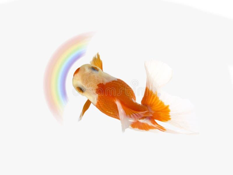 Natation de poisson rouge avec l'arc-en-ciel sur le fond blanc, poisson d'or, poissons décoratifs d'aquarium, poissons d'or photos libres de droits