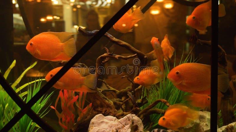 Natation de poisson rouge dans l'aquarium dans le restaurant Vue Plan rapproché de la natation moyenne de poisson rouge dans l'aq image libre de droits