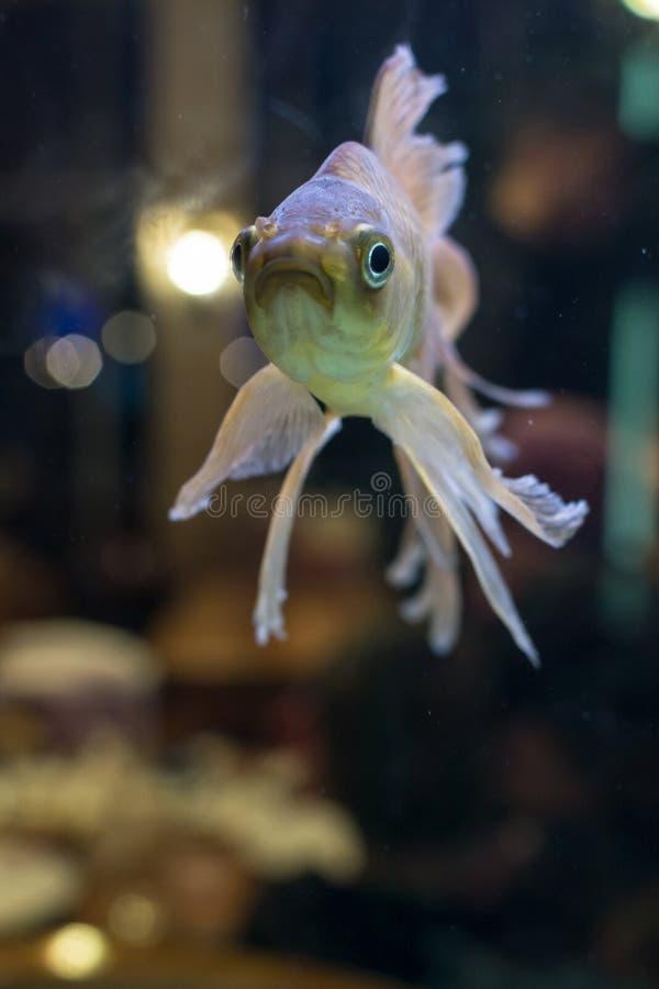 Natation de poisson rouge de rose des vents dans un aquarium images stock