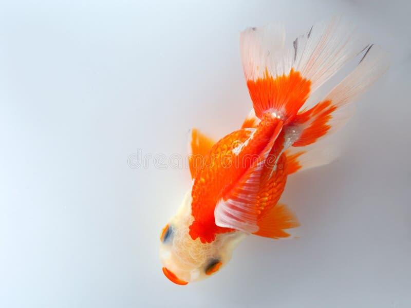 Natation de poisson rouge sur le fond blanc Vue sup?rieure photo libre de droits