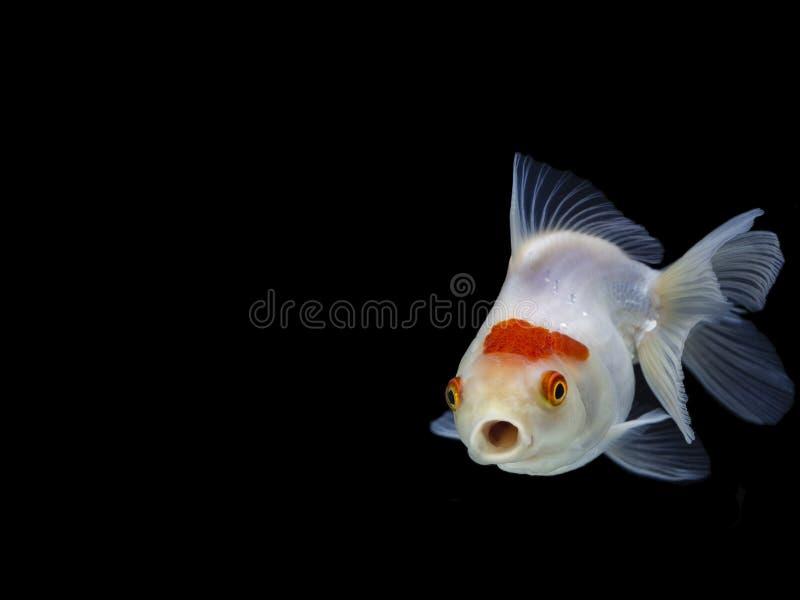 Natation de poisson rouge sur le fond noir, poisson d'or, poissons décoratifs d'aquarium, poissons d'or photo stock