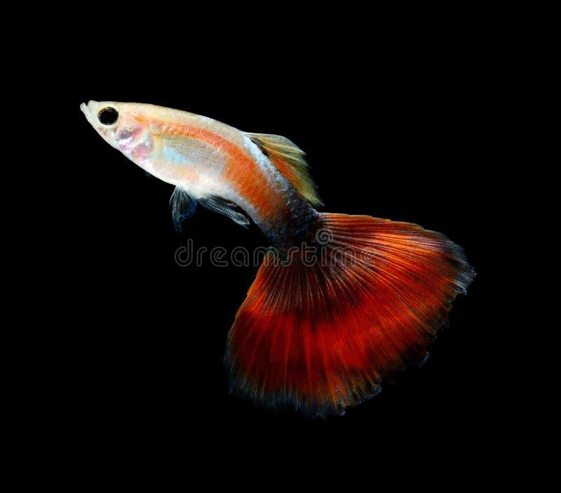 Natation de poissons d'animal familier de guppy d'isolement photographie stock