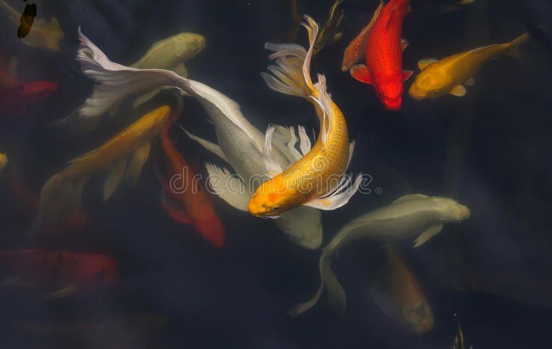 Natation de poissons de Koi photo libre de droits