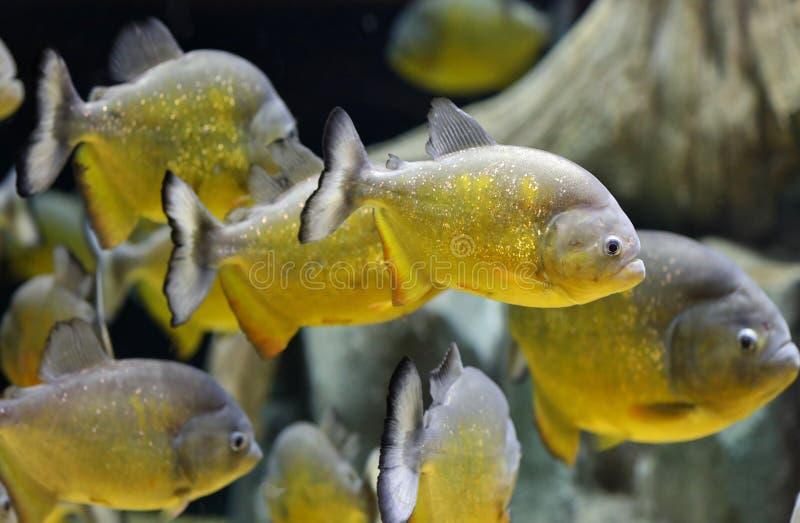 Natation de poissons de piranha d'or image libre de droits