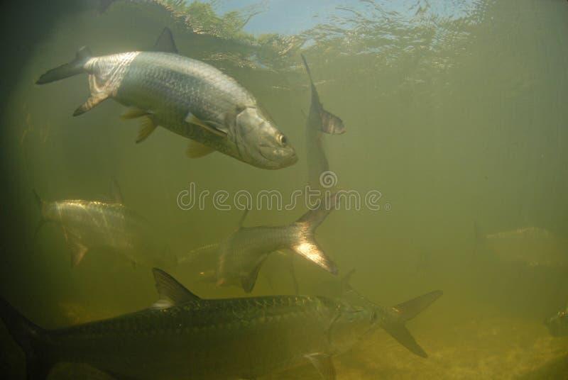Natation de poissons de tarpon dans l'océan image stock