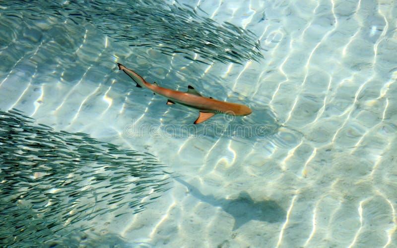 Natation de requin d'astuce de noir de bébé dans les eaux d'espace libre de l'océan pacifique photographie stock