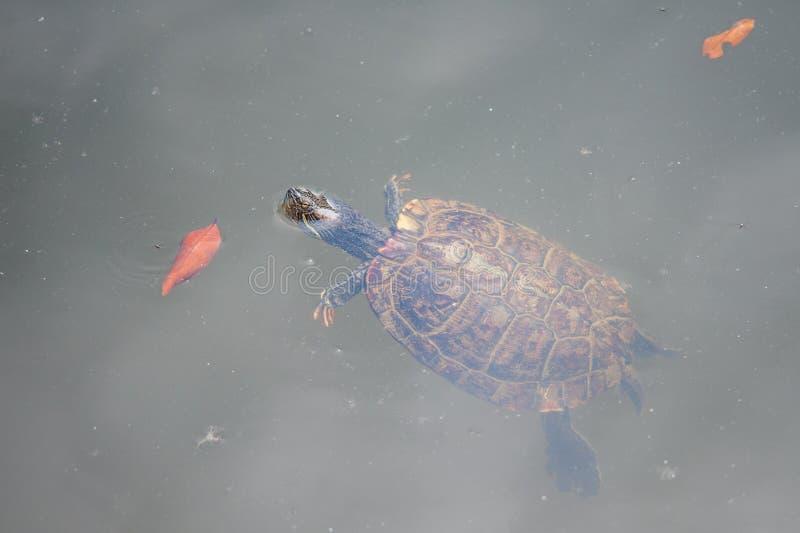 Natation de tortue photographie stock libre de droits