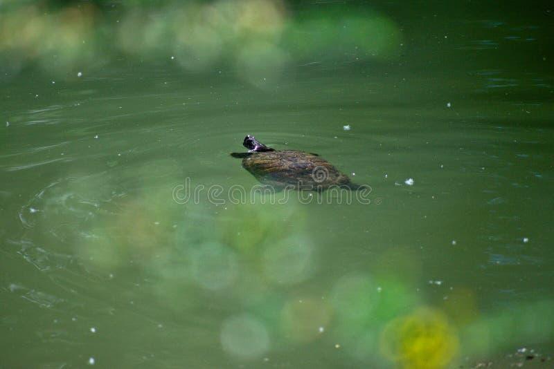 Natation de tortue dans l'eau images stock