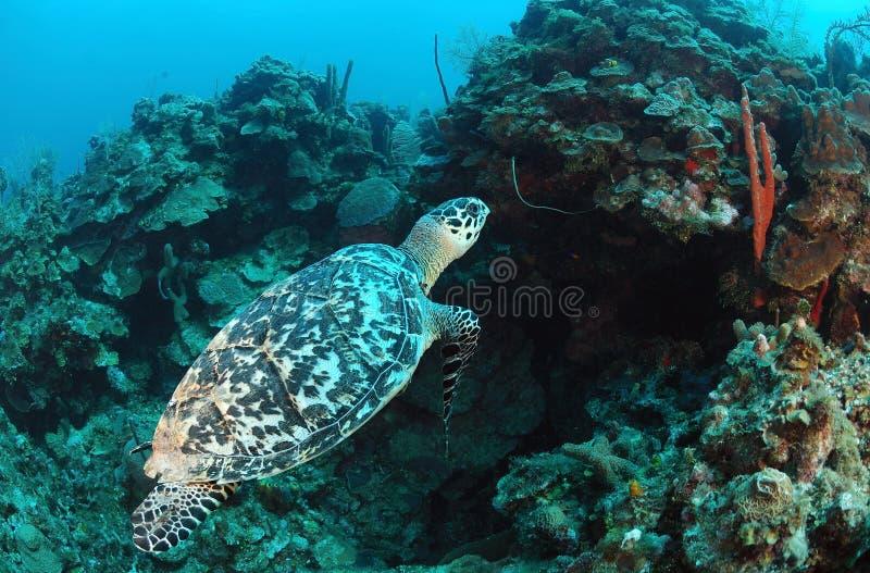 Natation de tortue de mer sous-marine images libres de droits