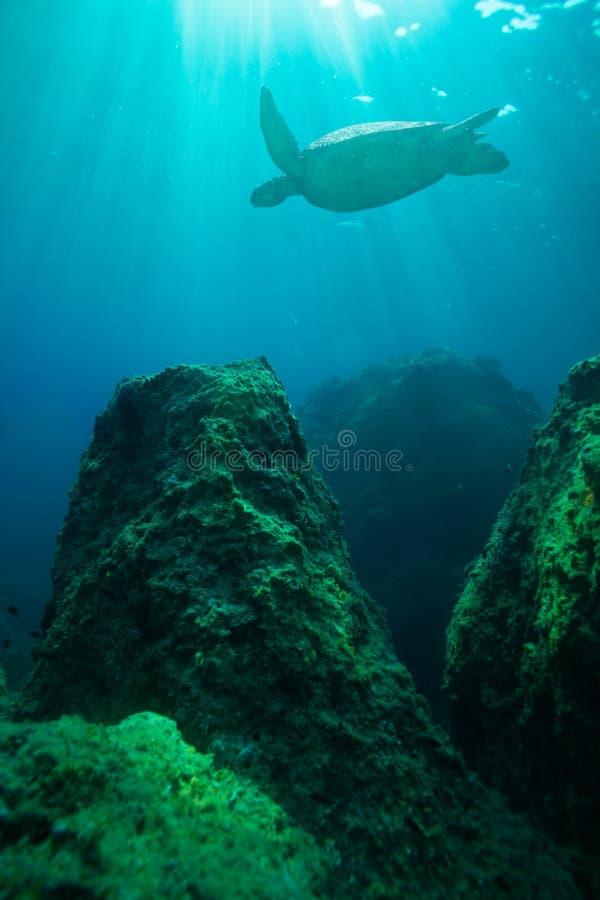 Natation de tortue parmi de grandes roches photographie stock