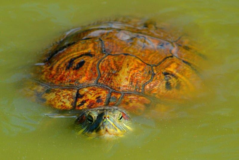 Natation de tortue vers vous image stock