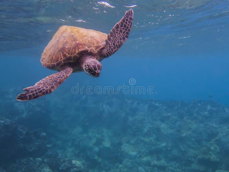 Natation hawaïenne de tortue de mer verte vers l'eau du fond de caméra avec l'espace de copie photo libre de droits