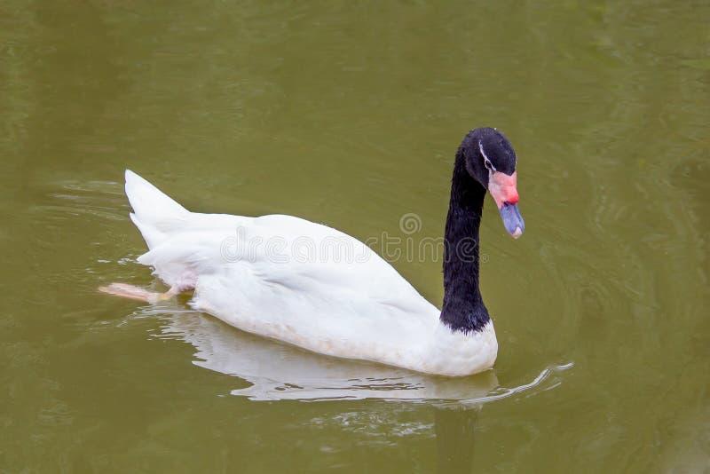 natation Noir-étranglée de cygne sur le lac photographie stock libre de droits