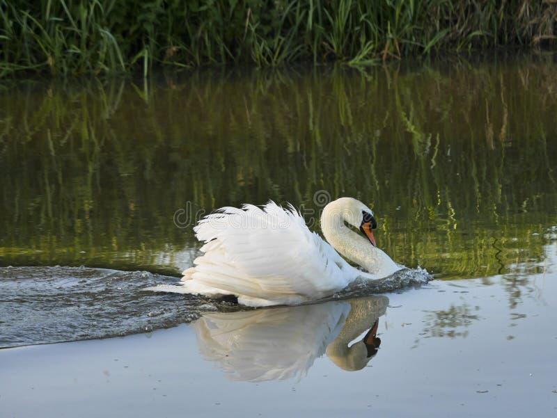 Natation responsable blanche de cygne muet en rivière photo libre de droits