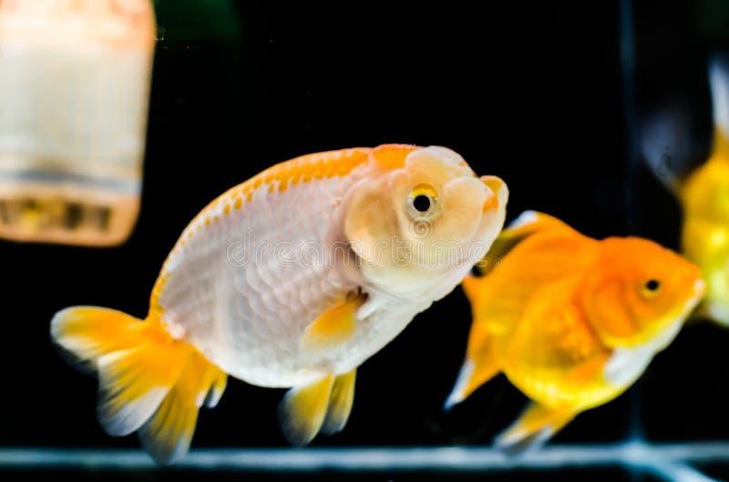 natation tête de lion de poisson rouge dans un aquarium photos stock