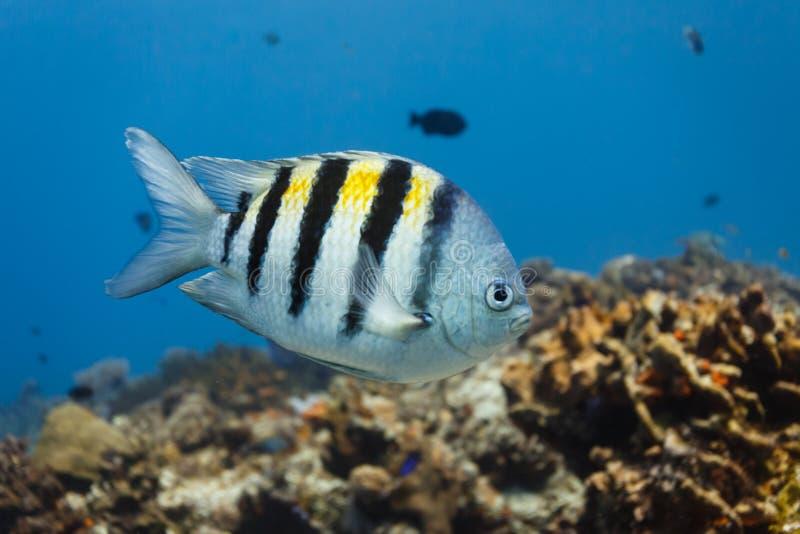 Natation tropicale de poissons de commandant de Sergant dans l'eau bleue avec le récif coralien à l'arrière-plan dans les Caraïbe photographie stock