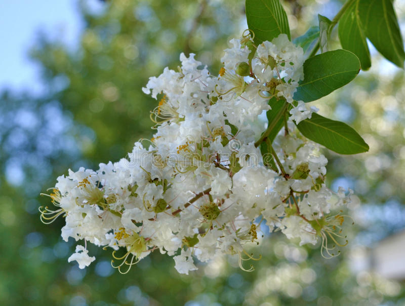 Natchez Crape Myrtle bloom stock photo