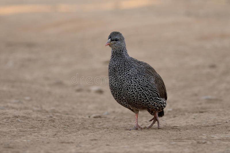 Natel francolin, Pternistis natalensis. Single bird on ground, South Africa, August 2015 stock images
