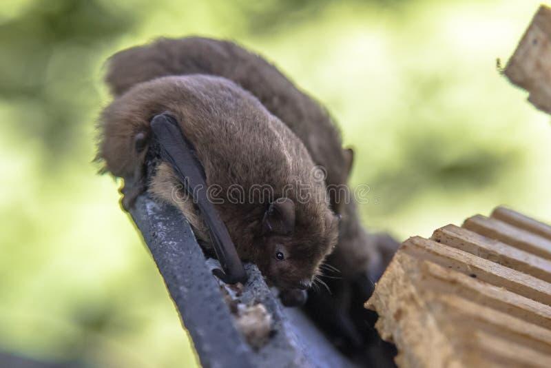 Nathusius pipistrelleslagträn som vilar i slagträhus arkivfoton