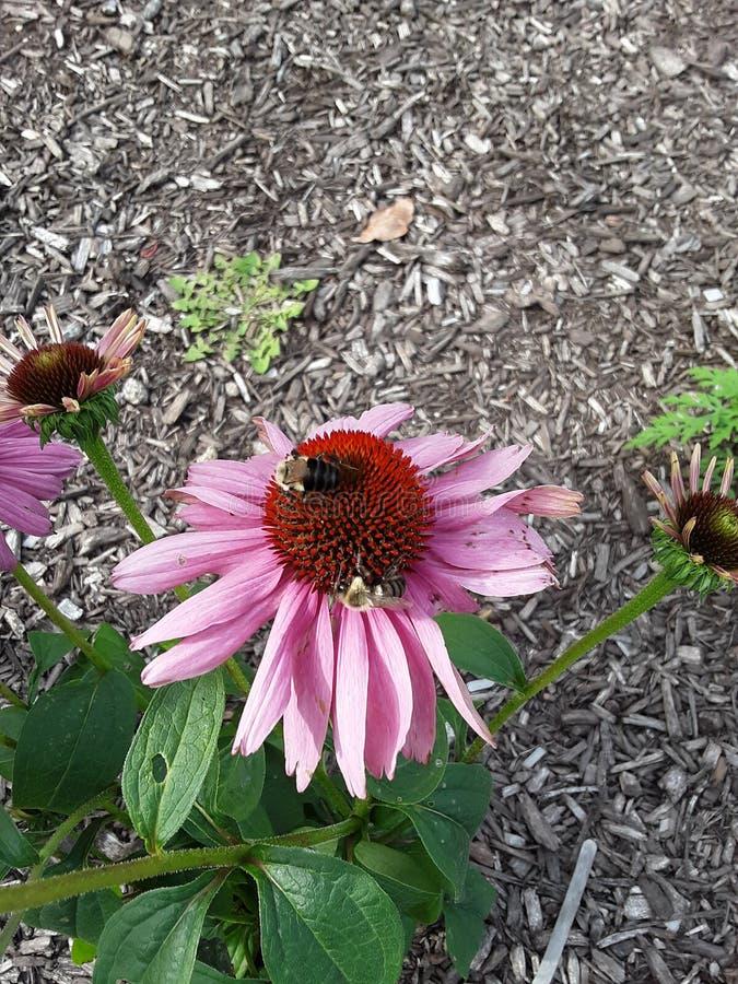 Nation de pollinisation des abeilles images stock