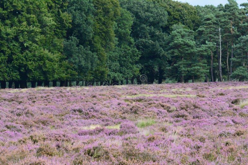 Nationaal Park de Hoge Veluwe. Purplehaze in September Nationaal Park de Hoge Veluwe in the Netherlands stock images