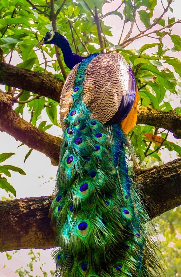 National Bird of India stock photography