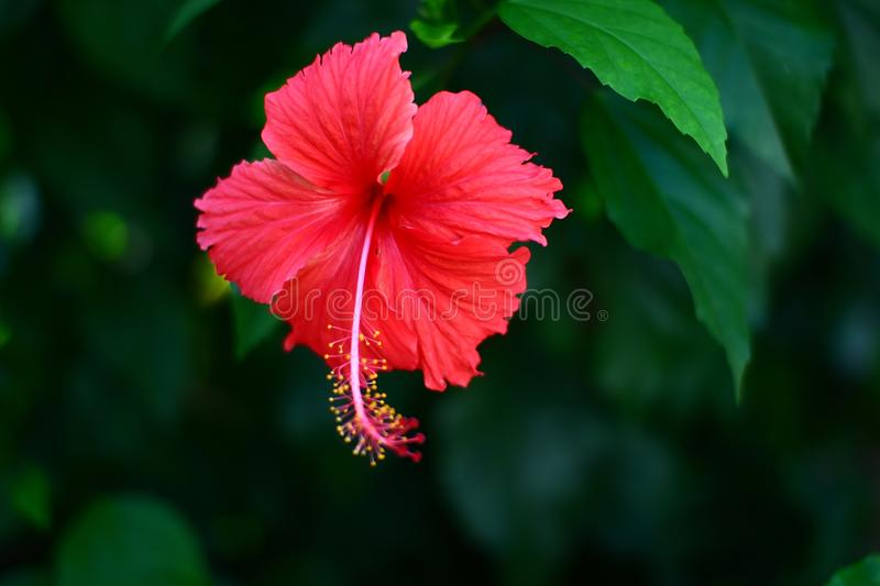 Bunga Raya, the national flower of malaysia royalty free stock photo