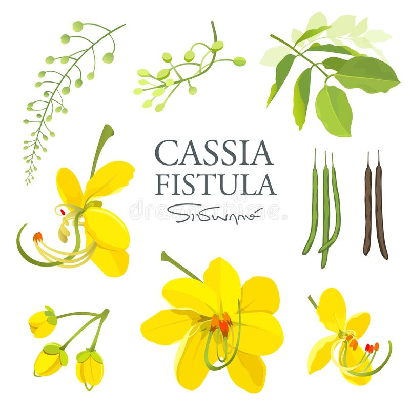 National flower of Thailand, Cassia Fistula, beautiful Yellow Thai flower collections stock illustration
