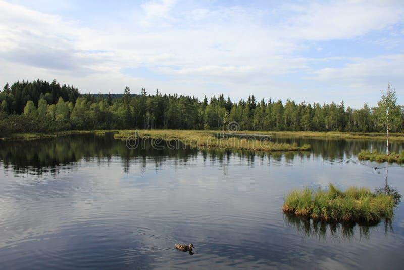 Peat bog of Chalupska slat. National Park Sumava, Czech Republic stock images