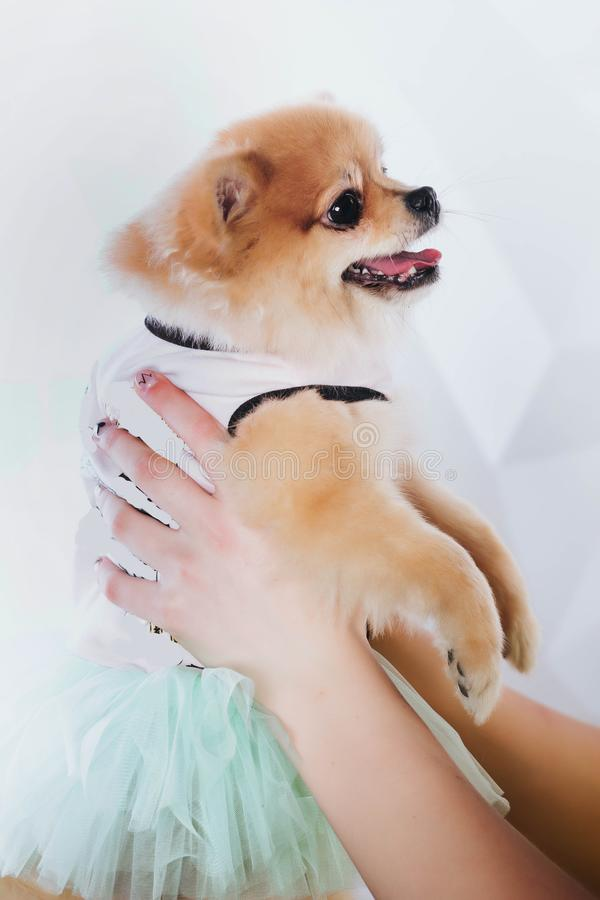 National pet`s day. A young woman is holding a puppy in her hands. Buying a dog. Happiness. To love animals. Veterinary Goods for royalty free stock photography