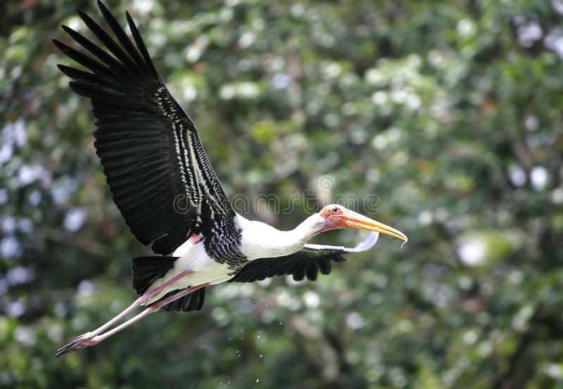 National Zoo, Malaysia. Milky Stork flying at the National Zoo, Malaysia stock image