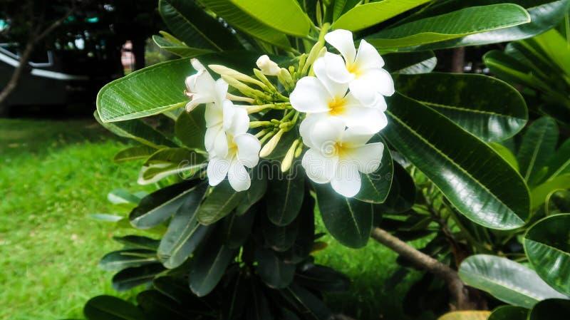 Nationale Blume von Thailand stockbild
