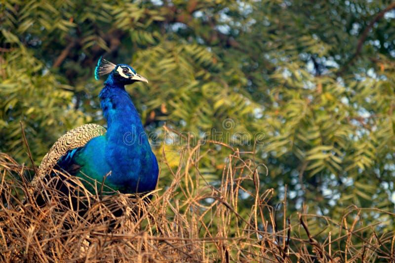 Nationale vogel, India stock foto's