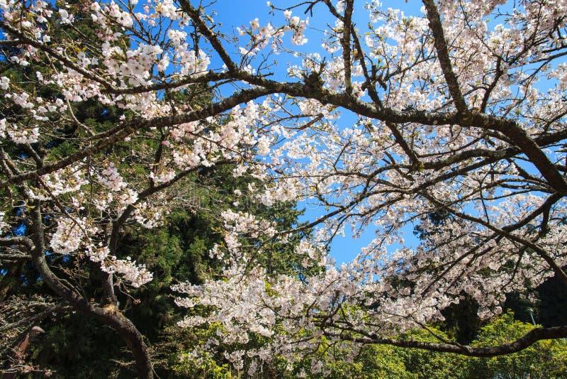 Nationalpark Alishan-Kirschblütenjahreszeit, Tainan, Taiwan stockbilder