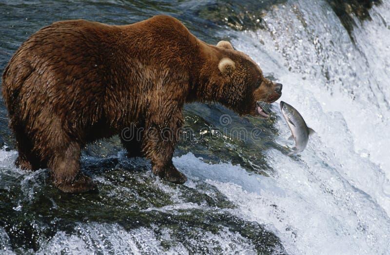 Nationalpark-Braunbär-anziehende Lachse USA Alaska Katmai in der Seitenansicht des Flusses stockbild