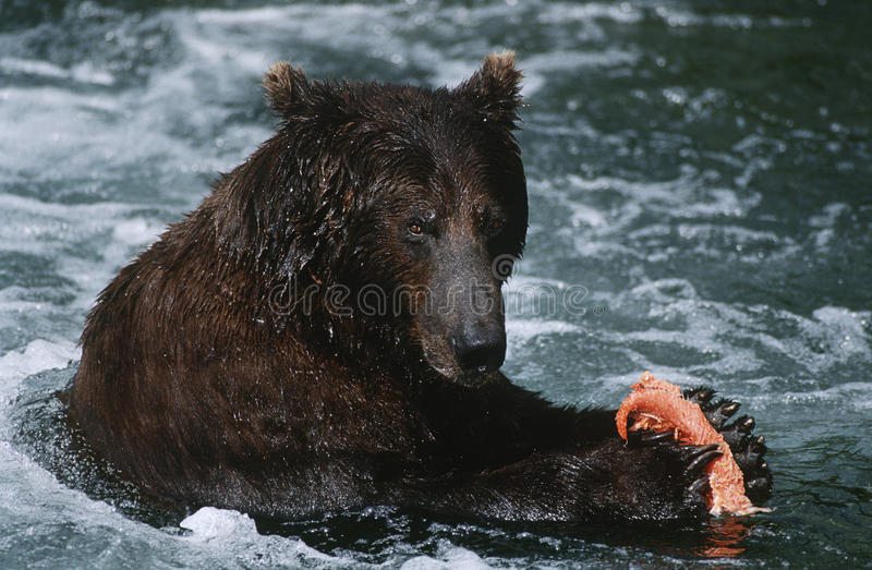 Nationalpark-Braunbär USA Alaska Katmai, der auf Lachse im Fluss einzieht stockfoto